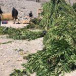Incautan cerca de 4 mil plantas de marihuana en Machalí y otras comunas de O´Higgins