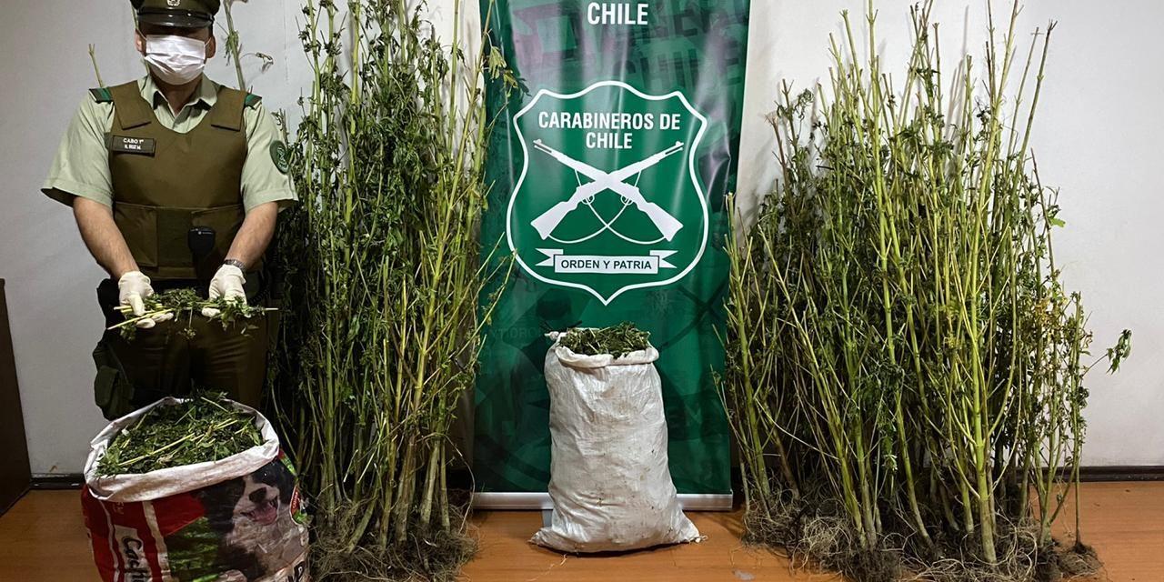 Decomisan mas de cien plantas y 27 kilos de marihuana en Machalí