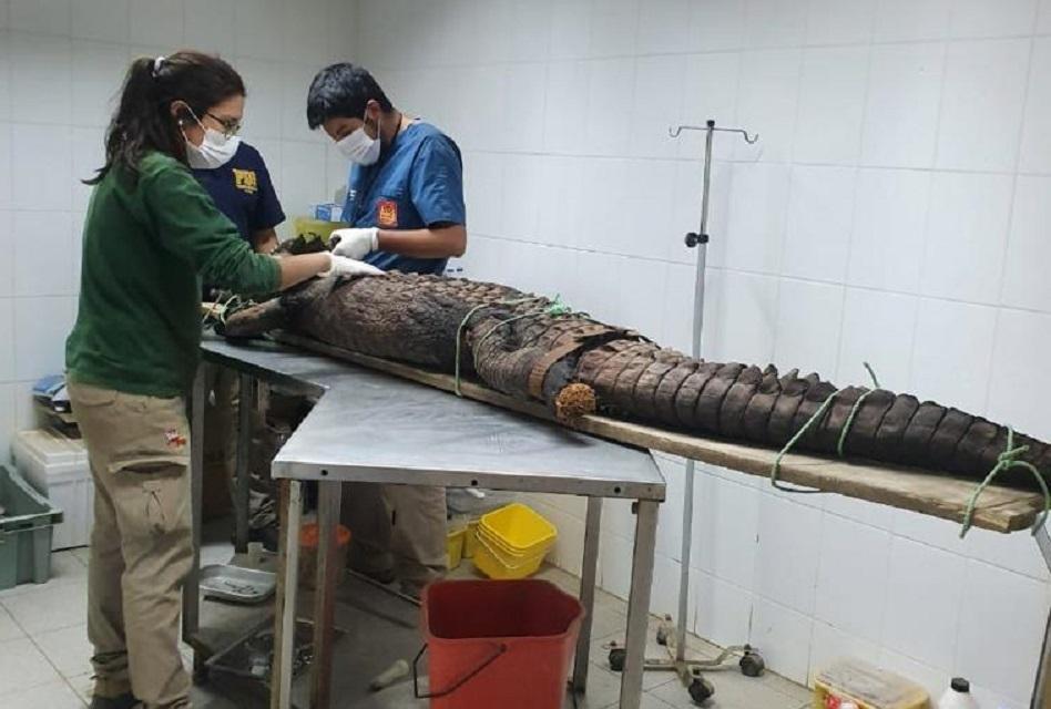 Encuentran cocodrilo disecado en jardín de casa en Rancagua