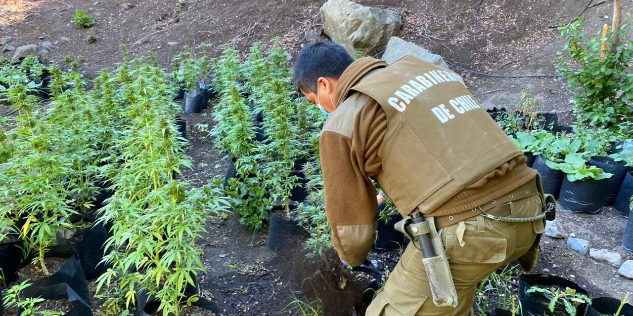 Incautan 145 plantas de Marihuana en Precordillera de Machali